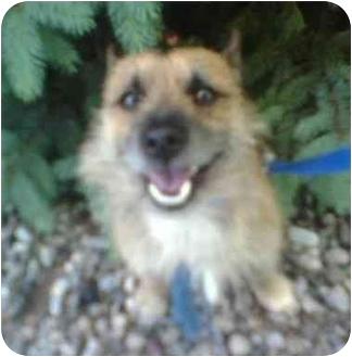 Norwich Terrier/Cairn Terrier Mix Dog for adoption in Oak Ridge, New Jersey - Ziggy-HELP