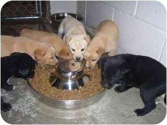 Labrador Retriever/Terrier (Unknown Type, Medium) Mix Puppy for adoption in Osceola, Arkansas - Puppies
