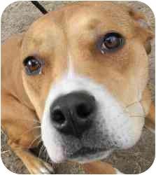 American Pit Bull Terrier Mix Dog for adoption in Kansas City, Missouri - Salsa