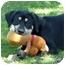 Photo 4 - Labrador Retriever Mix Puppy for adoption in San Clemente, California - ZACK