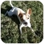 Photo 2 - Jack Russell Terrier/Chihuahua Mix Puppy for adoption in San Antonio, Texas - Dingo in SA