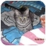 Photo 1 - Domestic Shorthair Cat for adoption in Los Angeles, California - Angel