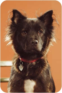 Border Collie/Chow Chow Mix Dog for adoption in Portland, Oregon - Missy