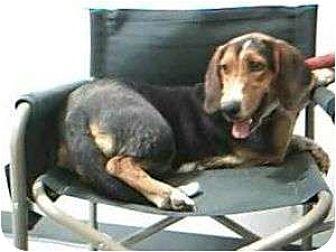 Basset Hound Dog for adoption in Acton, California - Martha