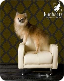 Pomeranian Dog for adoption in conroe, Texas - Cheeto