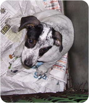 Terrier (Unknown Type, Medium)/Jack Russell Terrier Mix Puppy for adoption in Somerset, Pennsylvania - Trent-Terry-Tom