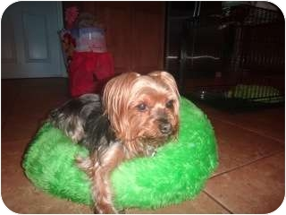 Yorkie, Yorkshire Terrier Mix Dog for adoption in Fairfax, Virginia - Rylie