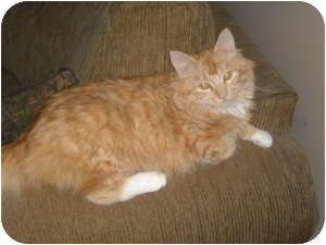 Domestic Longhair Cat for adoption in McDonough, Georgia - Bella Bellisima