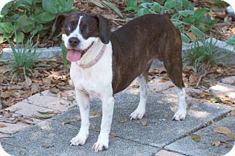 Boston Terrier/Beagle Mix Dog for adoption in Minneola, Florida - Rosie