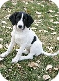 Border Collie/Beagle Mix Puppy for adoption in Alliance, Nebraska - Tesla