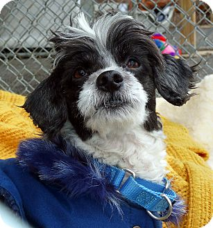 Shih Tzu Dog for adoption in Carmel, New York - Carlson