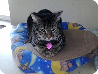 Domestic Shorthair Cat for adoption in Kelso/Longview, Washington - Holley