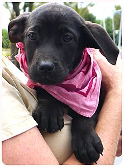 Labrador Retriever/Border Collie Mix Puppy for adoption in Sacramento, California - Abbygale cutie pie