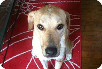 Labrador Retriever Mix Dog for adoption in Austin, Texas - Oliver