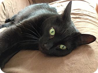 Domestic Shorthair Cat for adoption in Rochester Hills, Michigan - Bugsy