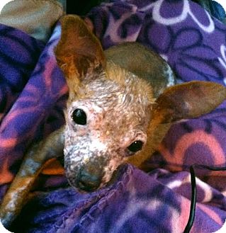 Chihuahua Puppy for adoption in Encino, California - Kipper