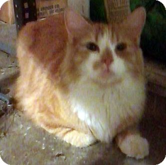 Domestic Longhair Cat for adoption in Toledo, Ohio - Butterscotch