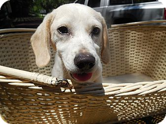 Labrador Retriever Mix Puppy for adoption in Old Town, Florida - Sherry