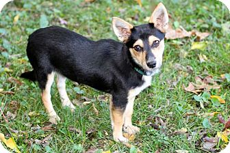 Manchester Terrier Mix Puppy for adoption in Salem, New Hampshire - PUPPY BABY STAR