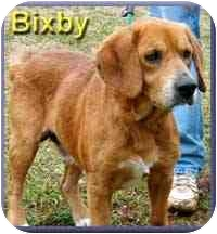 Basset Hound/Beagle Mix Dog for adoption in Aldie, Virginia - Bixby