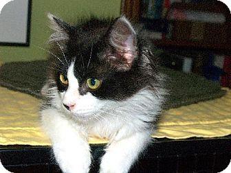 Domestic Longhair Kitten for adoption in HILLSBORO, Oregon - ROBBIE