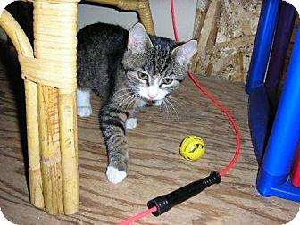 Domestic Mediumhair Kitten for adoption in Salem, Oregon - Greta