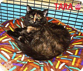 Domestic Shorthair Cat for adoption in Converse, Texas - Tara