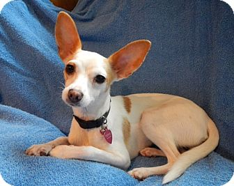 Chihuahua Mix Dog for adoption in Vacaville, California - Friday