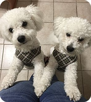 Bichon Frise Puppy for adoption in East Hanover, New Jersey - THOR