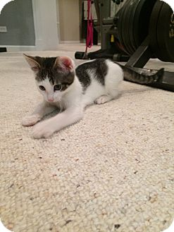 Domestic Shorthair Kitten for adoption in Huntley, Illinois - Dior