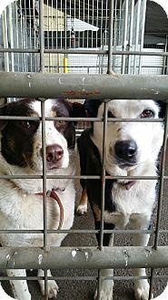 Australian Shepherd/Border Collie Mix Dog for adoption in Gustine, California - SISSY