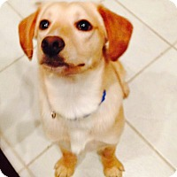 Adopt A Pet :: Buck - Lewisville, IN