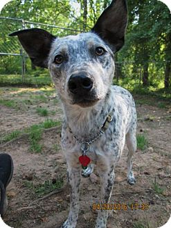 Australian Cattle Dog/Manchester Terrier Mix Dog for adoption in Lincolndale, New York - Otto