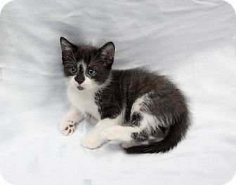 Domestic Shorthair Kitten for adoption in Tallahassee, Florida - Skully