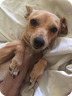 Chihuahua Mix Dog for adoption in Austin, Texas - Turtle