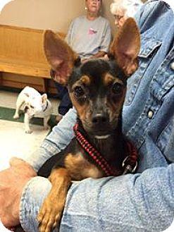 Chihuahua/Miniature Pinscher Mix Dog for adoption in WAGONER, Oklahoma - Liz