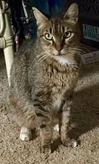Domestic Shorthair Cat for adoption in Pt. Richmond, California - BOODLE