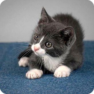 Domestic Shorthair Kitten for adoption in Columbia, Illinois - Anuket