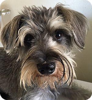 Miniature Schnauzer/Shih Tzu Mix Puppy for adoption in Pennigton, New Jersey - Salt