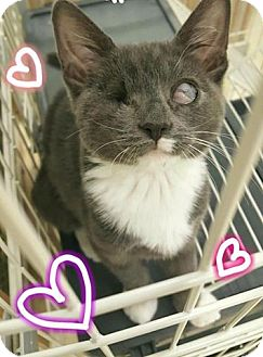 Domestic Shorthair Kitten for adoption in Westbury, New York - Trinity
