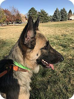 German Shepherd Dog Dog for adoption in Littleton, Colorado - MILLA