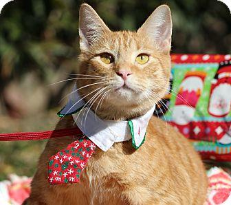 American Shorthair Cat for adoption in Ocean Springs, Mississippi - Presley