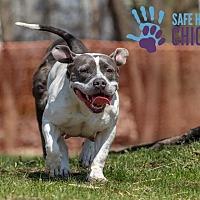 Adopt A Pet :: Brie - Villa Park, IL