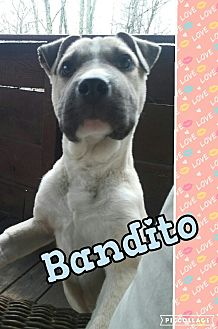 Boxer/Labrador Retriever Mix Puppy for adoption in Cranston, Rhode Island - Bandito