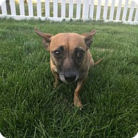 Adopt A Pet :: Lola (FORT COLLINS) - Fort Collins, CO