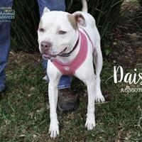 Adopt A Pet :: *DAISY - Camarillo, CA