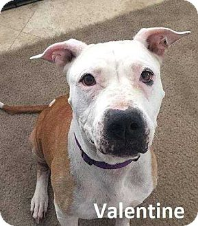 Pit Bull Terrier Dog for adoption in Lake Forest, California - Valentine