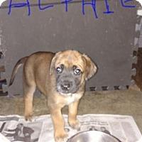 Adopt A Pet :: Alphie - Woodstock, CT