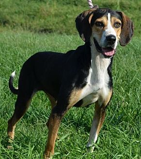 Treeing Walker Coonhound Dog for adoption in Trenton, Missouri - Rita