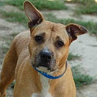Adopt A Pet :: BOXY BROWN - Los Angeles, CA